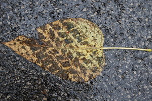 12 leaves_