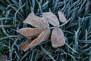 7 leaves_