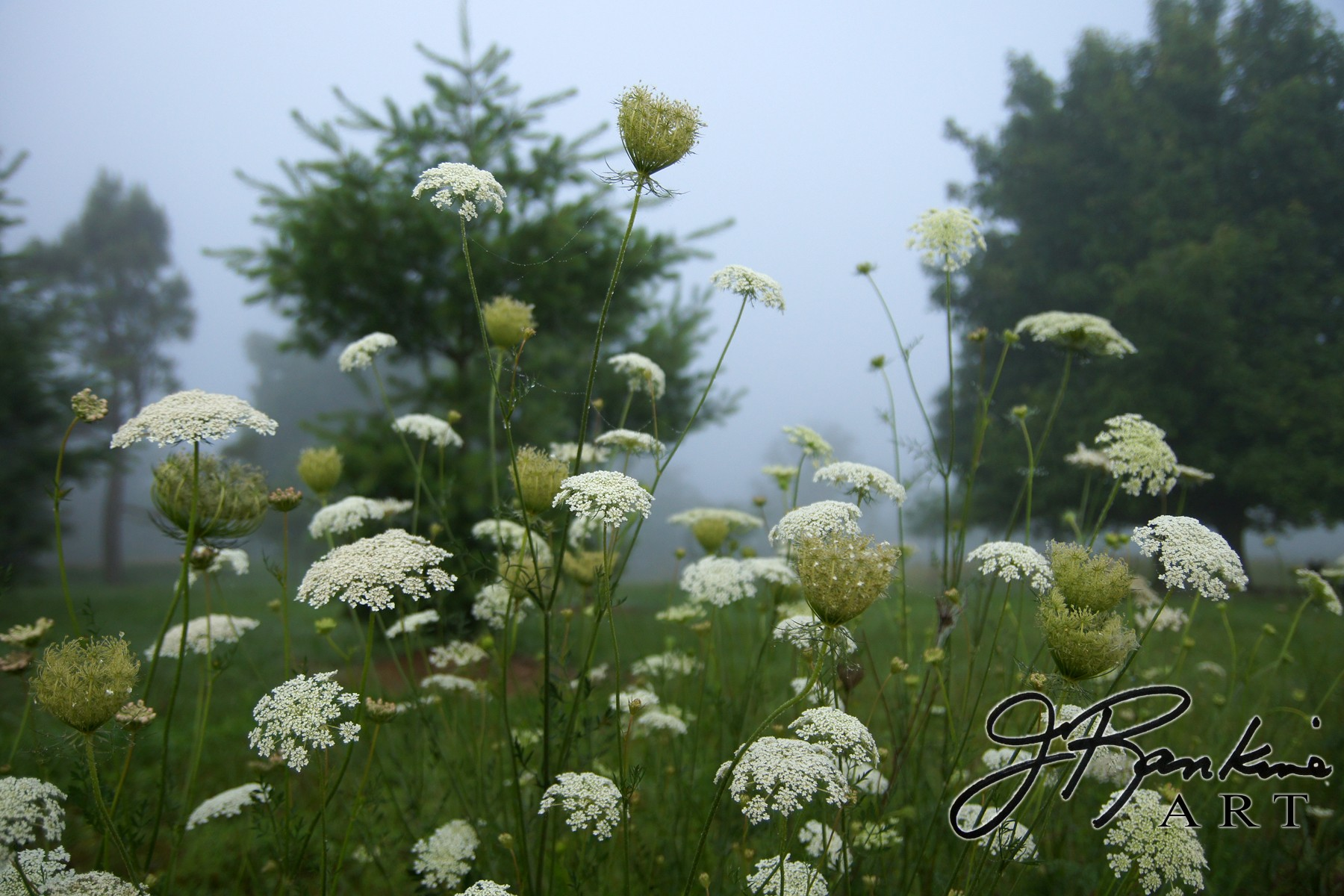 Queen Ann Lace Flowers