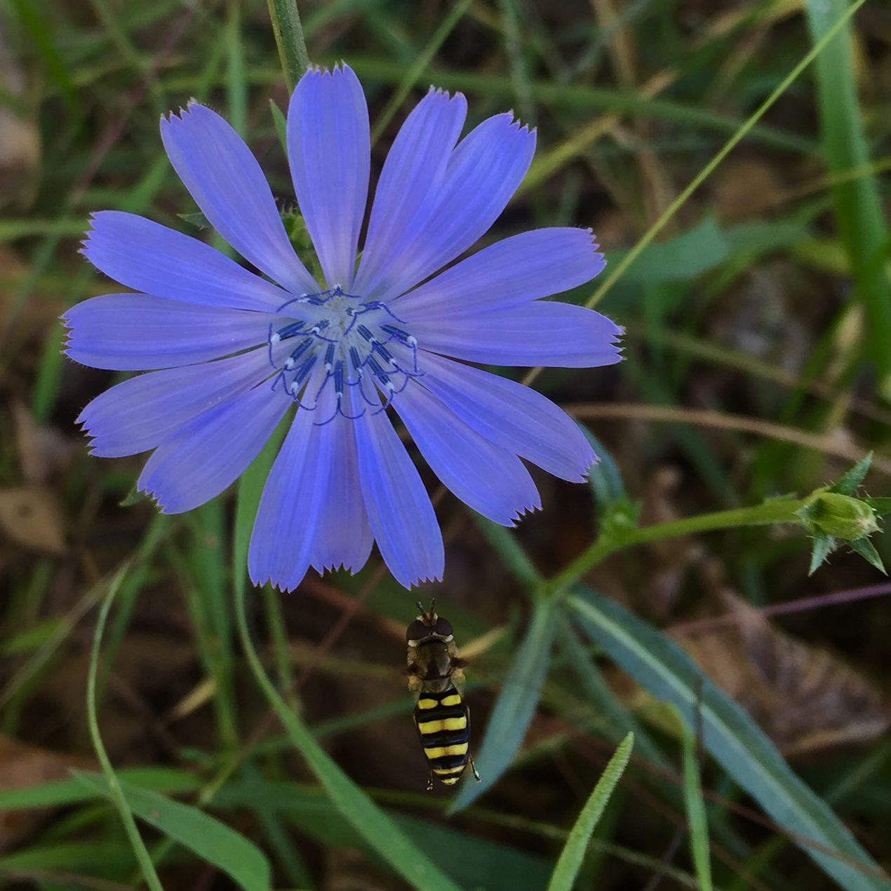 chicory and wasp 100 dpi